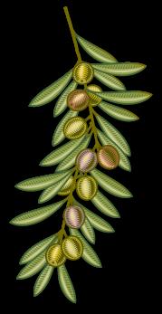 branca-olivera